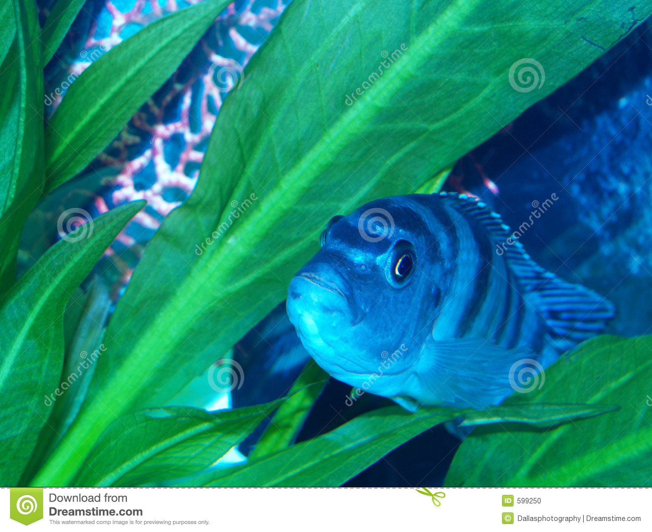 Pregnant femal kenyi cichlid stock photo image 599250 for Fish dream meaning pregnancy