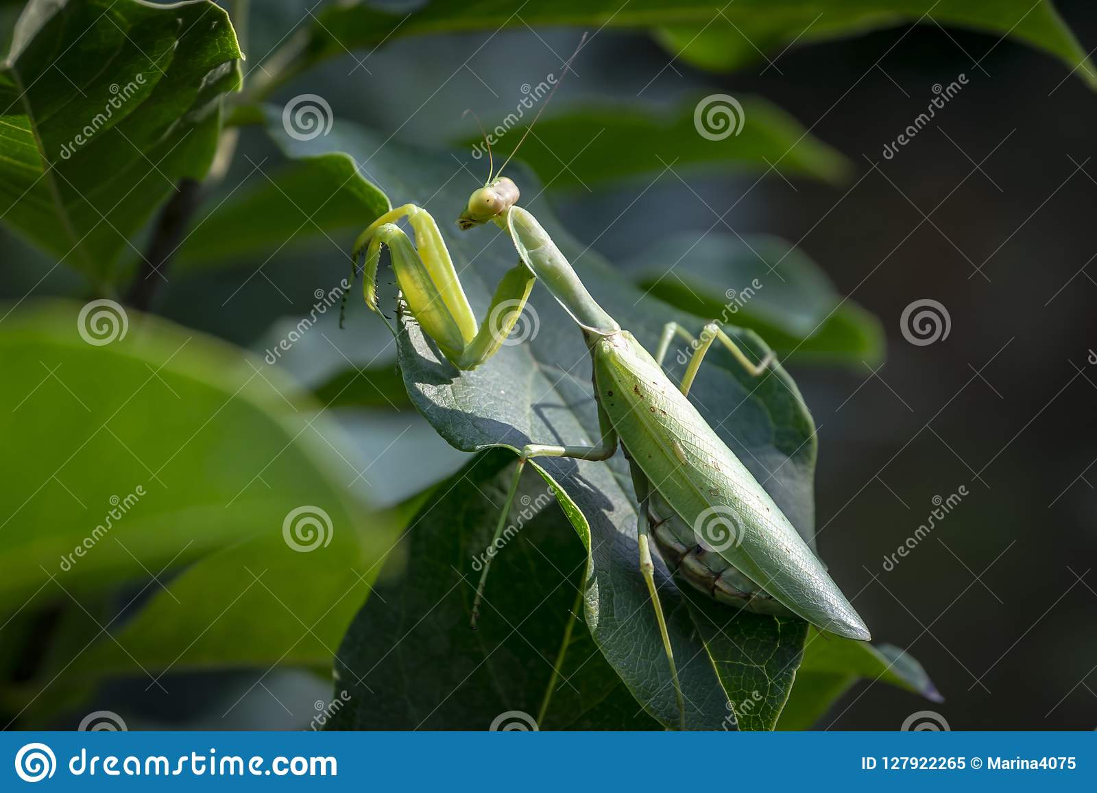 Pregnant Female Praying Mantis Or Mantis Religiosa In A Natural