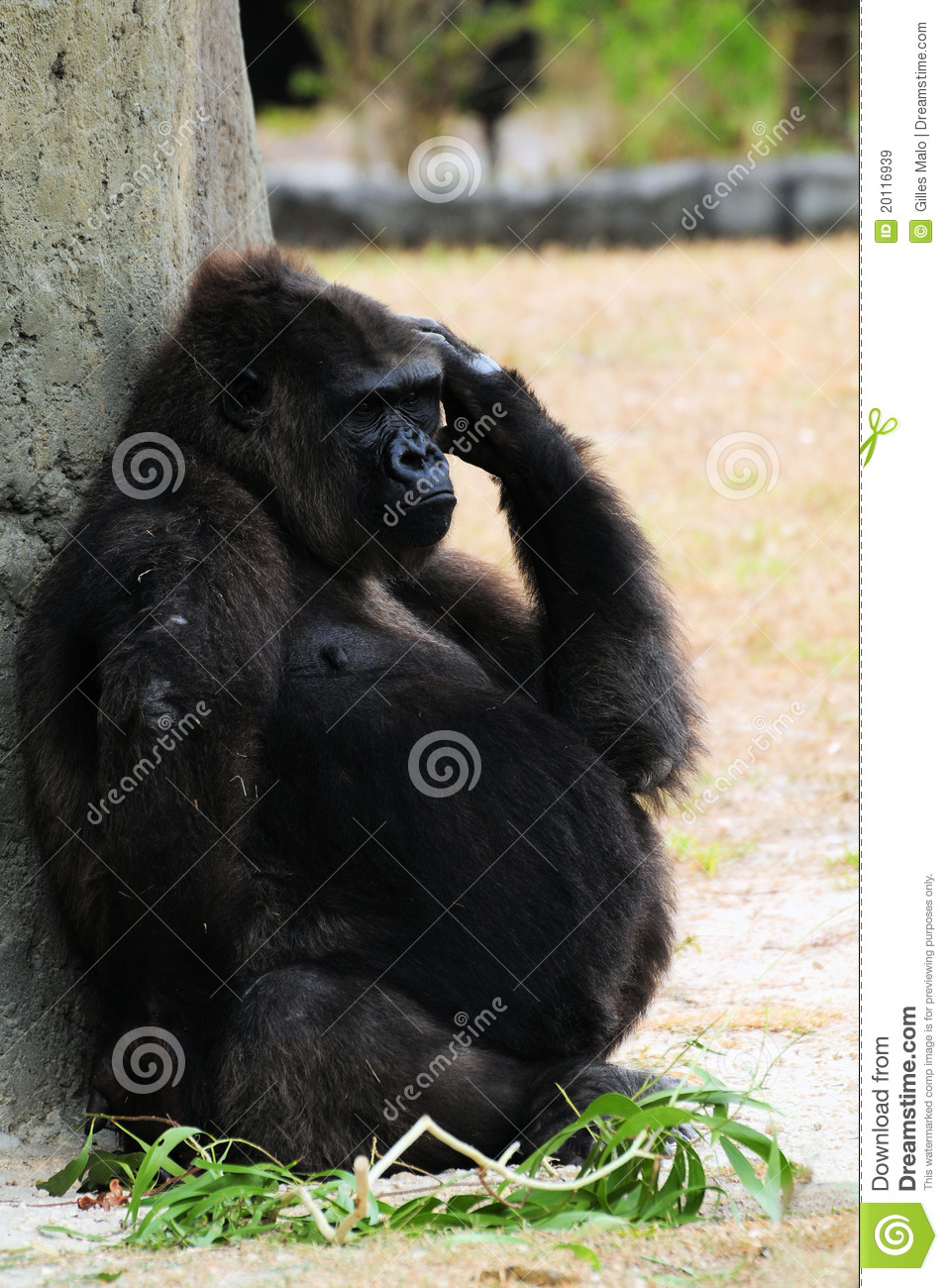 Pregnant Gorilla Royalty Free Stock Images Image 20116939