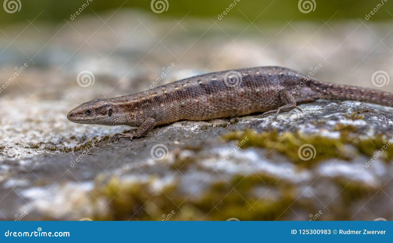 Pregnant or gravid female of Viviparous lizard