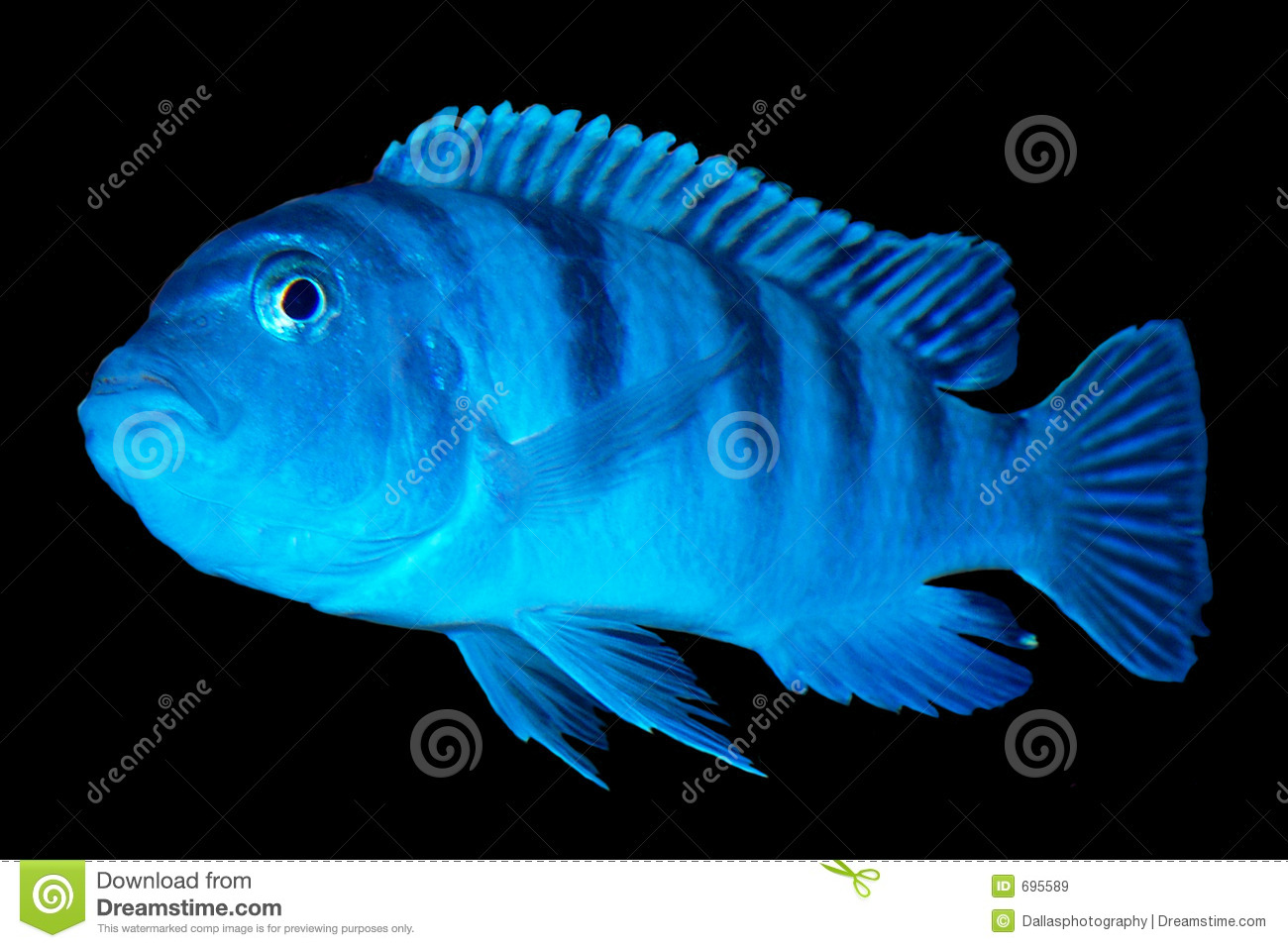 Pregnant kenyi cichlid ad ready stock image image 695589 for Fish dream meaning pregnancy