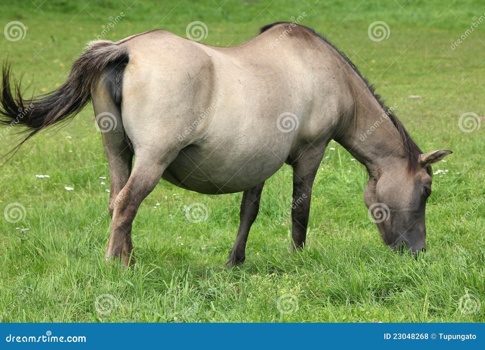 Pferde Muschi