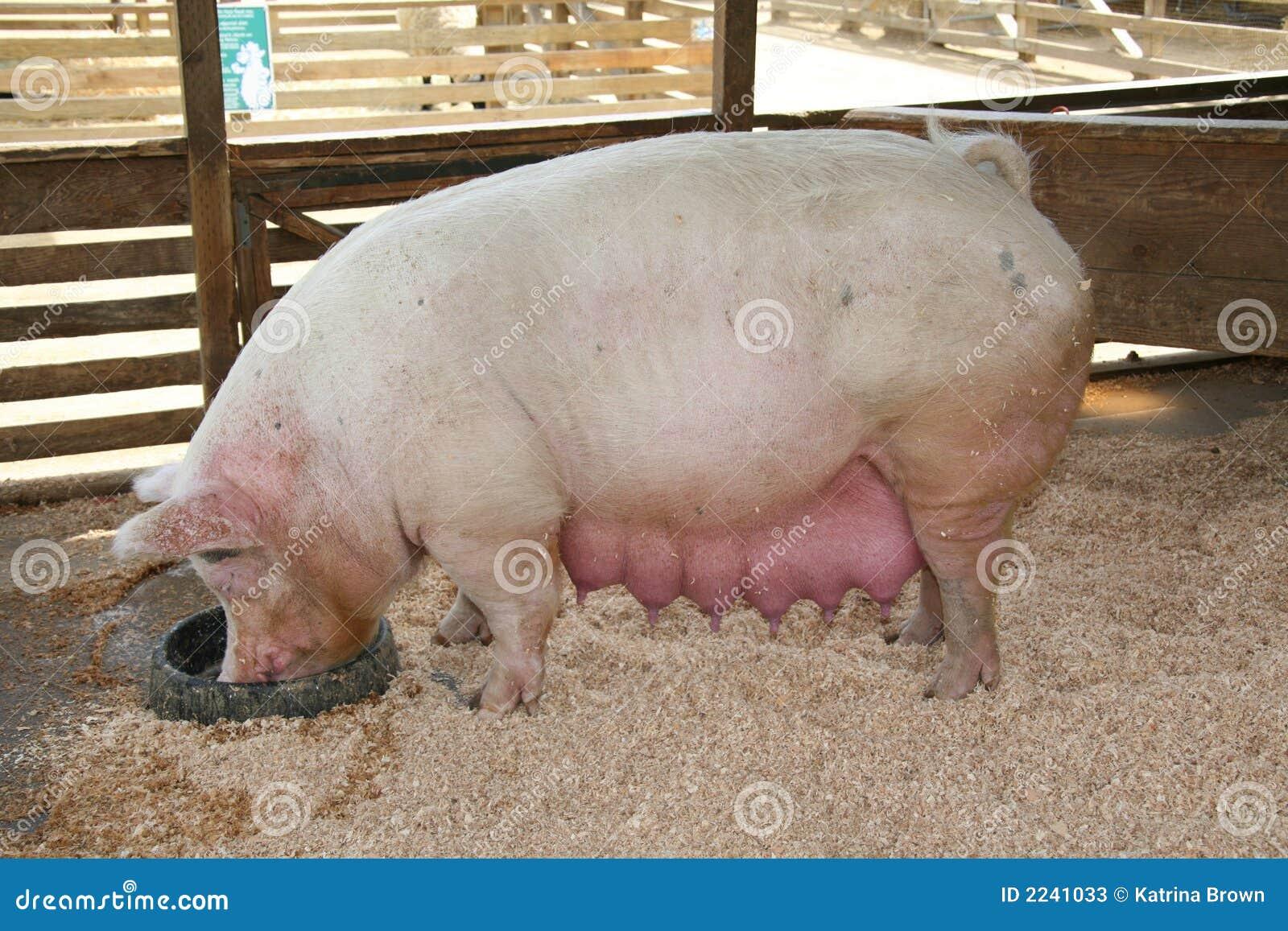 Может ли беременная свинья прийти в охоту