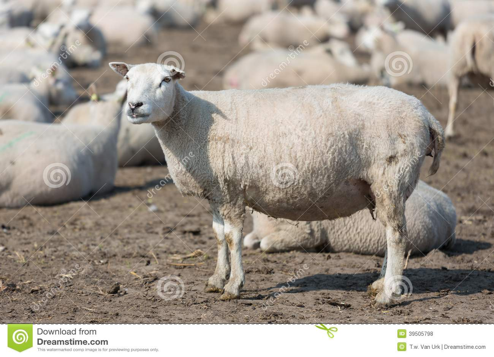 Pregnant sheep in Dutch countryside