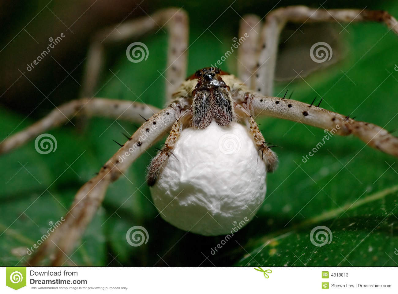 Pregnant Wolf Spider Stock Image Image Of Eyes Hairy 4918813