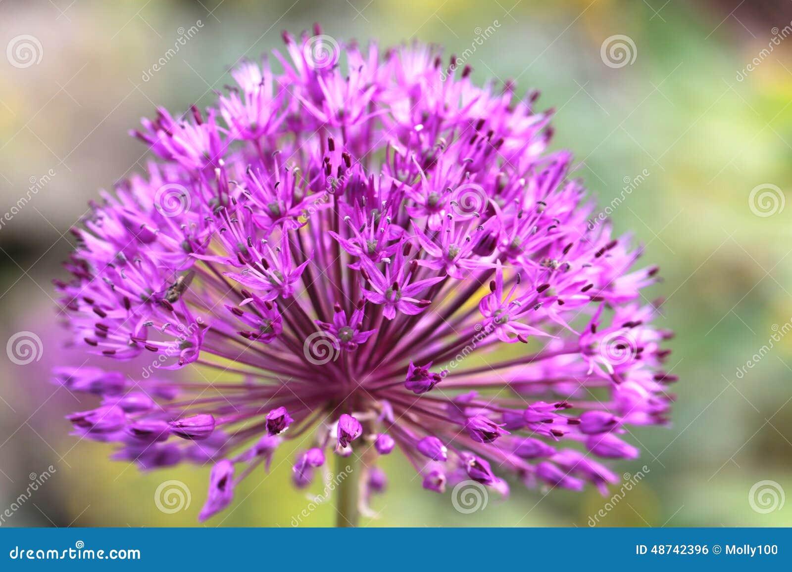 Preibloem in een botanische tuin stock foto afbeelding bestaande