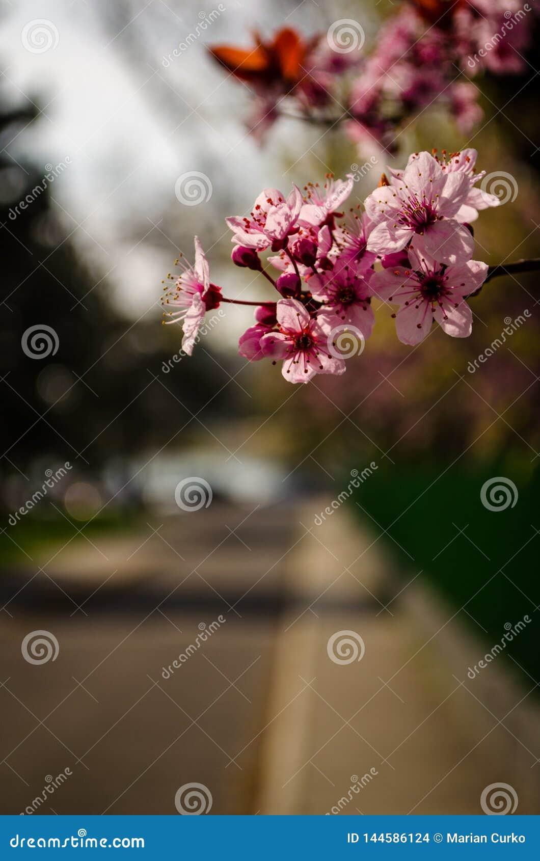 Premier ressort Cherry Blossom Near Lake
