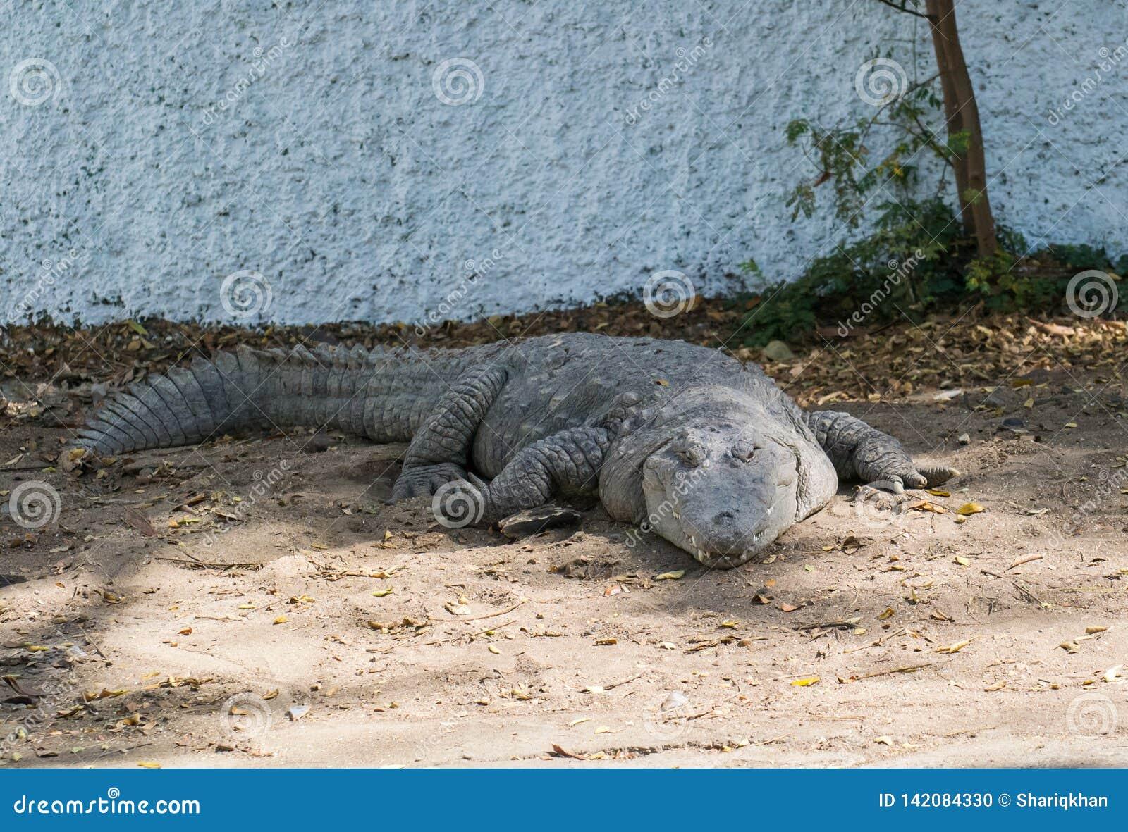 Prendere il sole del sole del coccodrillo del coccodrillo palustre