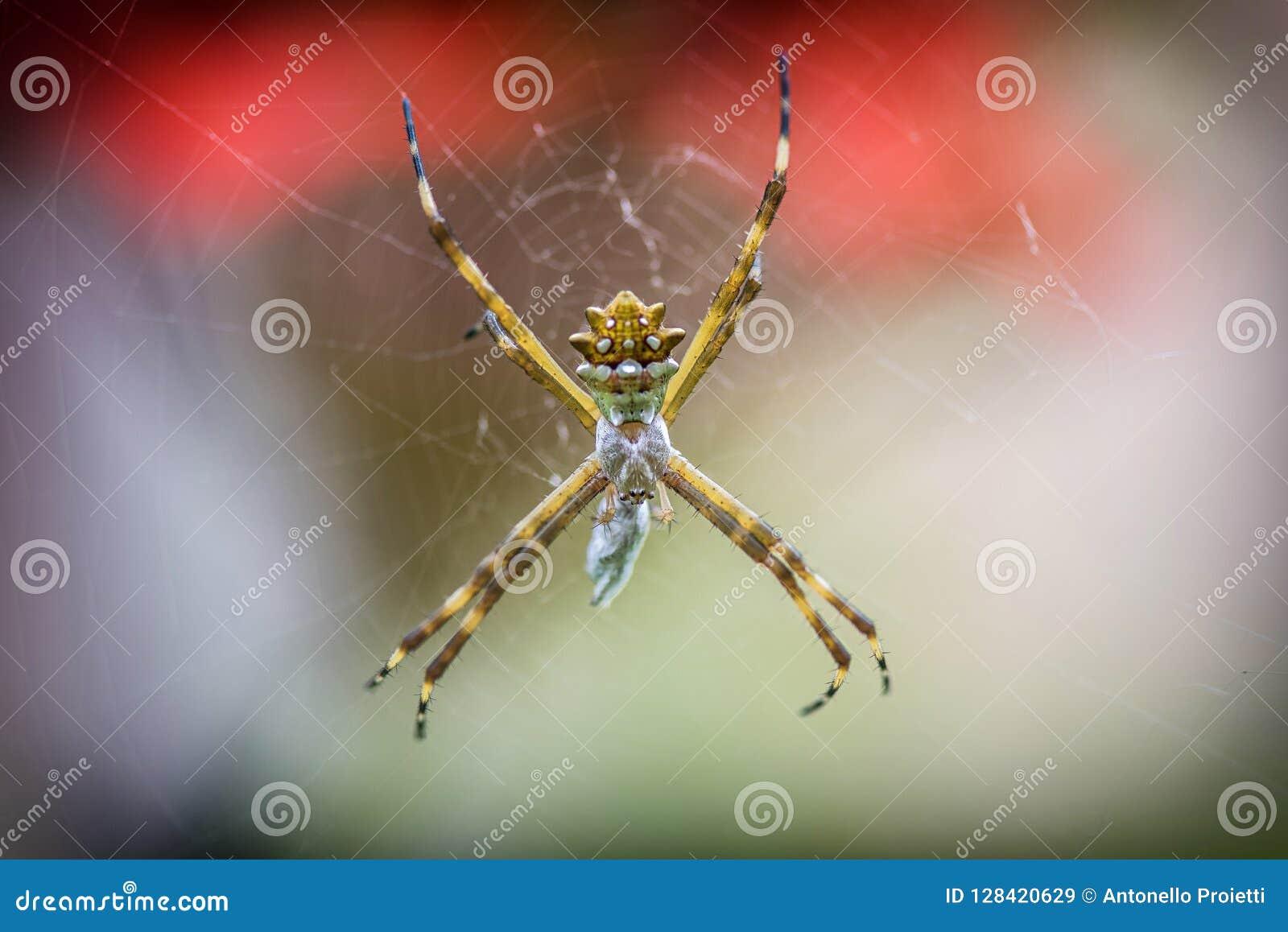 Presa que espera de la araña de plata del Argiope para en el web de araña