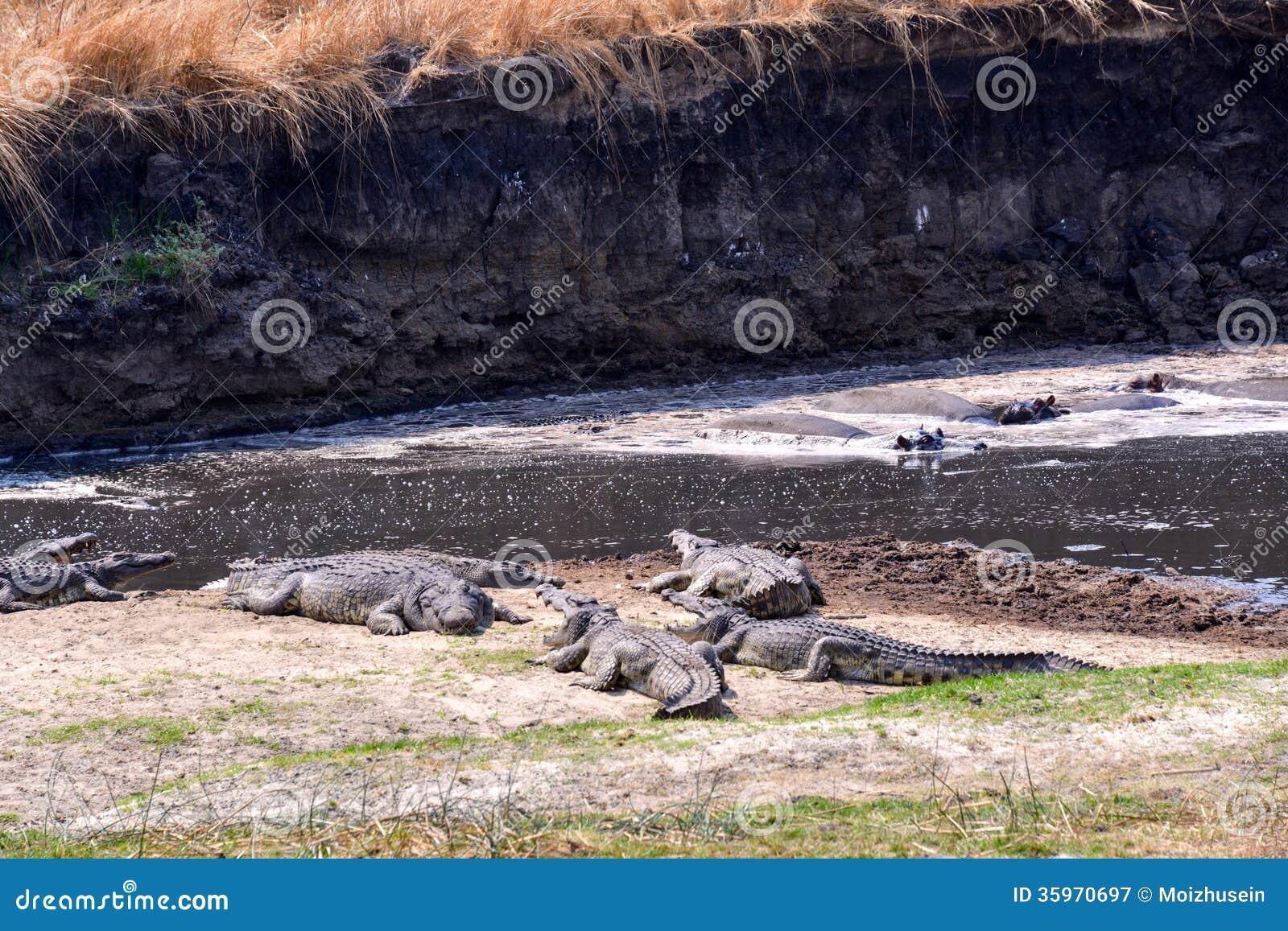 Presa que espera del cocodrilo del Nilo para