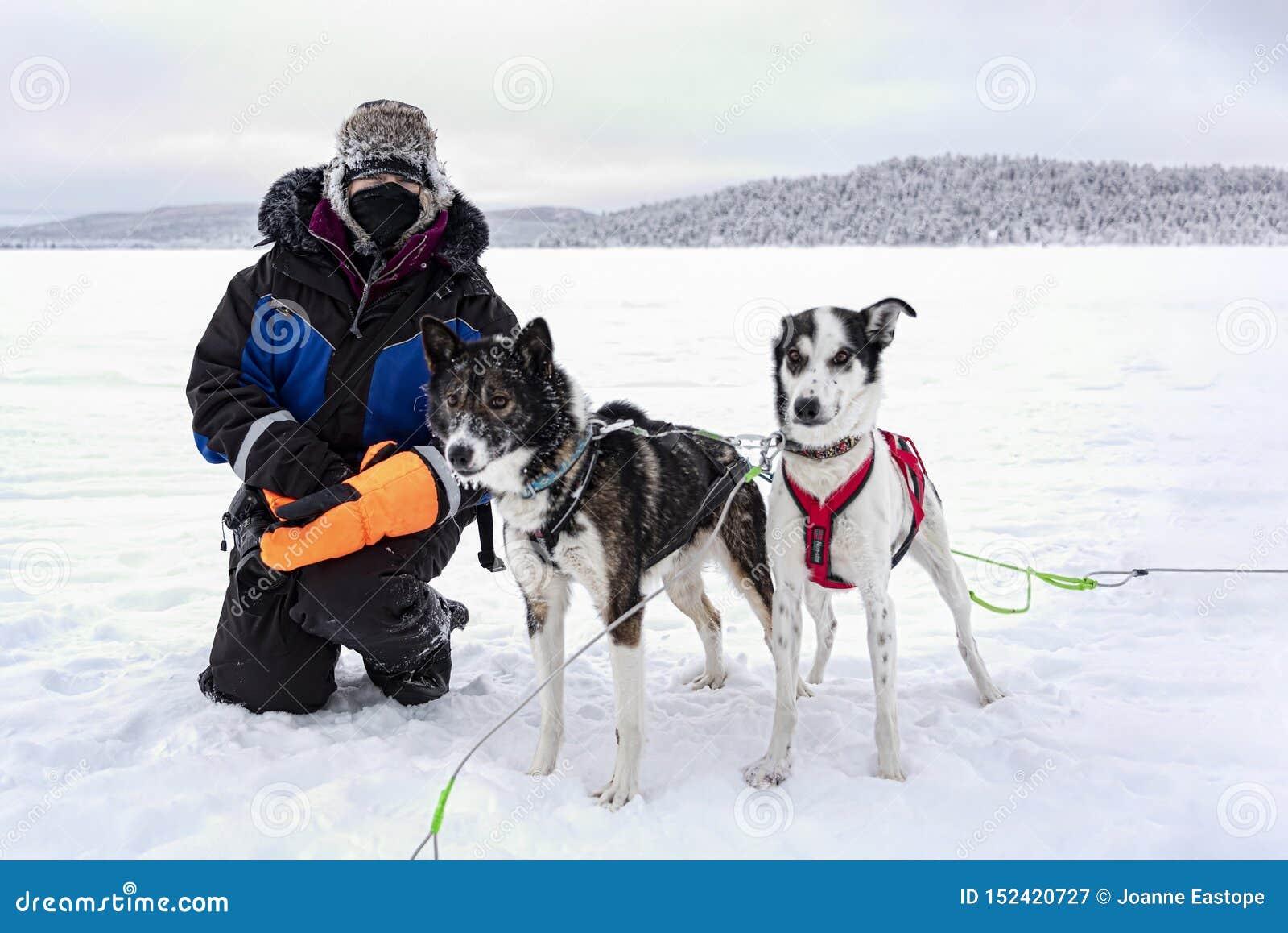 Presagie acariciar perros fornidos después de paseo turístico del trineo