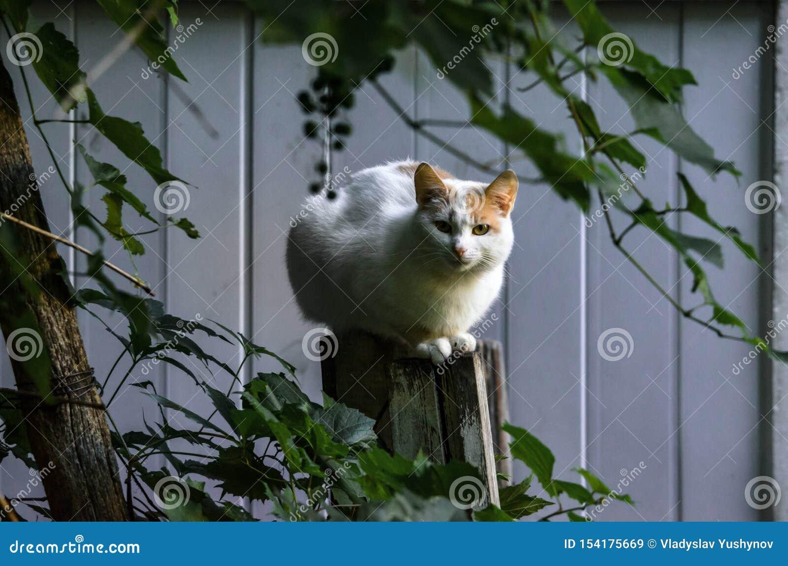 Presque totalement le chat blanc se repose sur le portrait de barrière