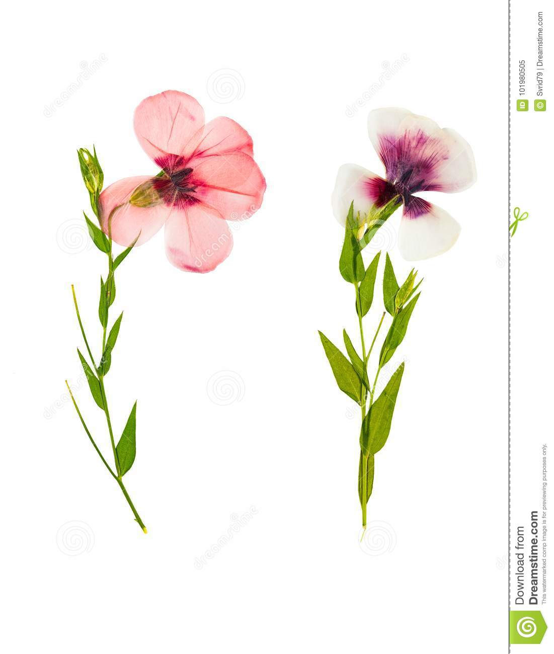 Pressed and dried delicate flower flax, isolated on white