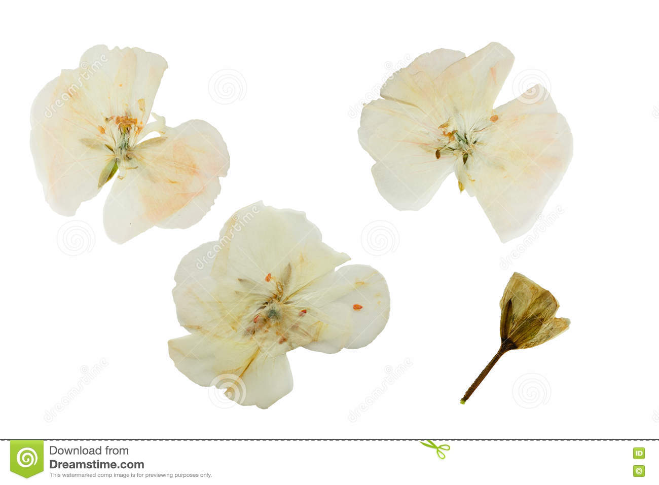 How to scrapbook dried flowers - Pressed And Dried Delicate Transparent Flowers Geranium
