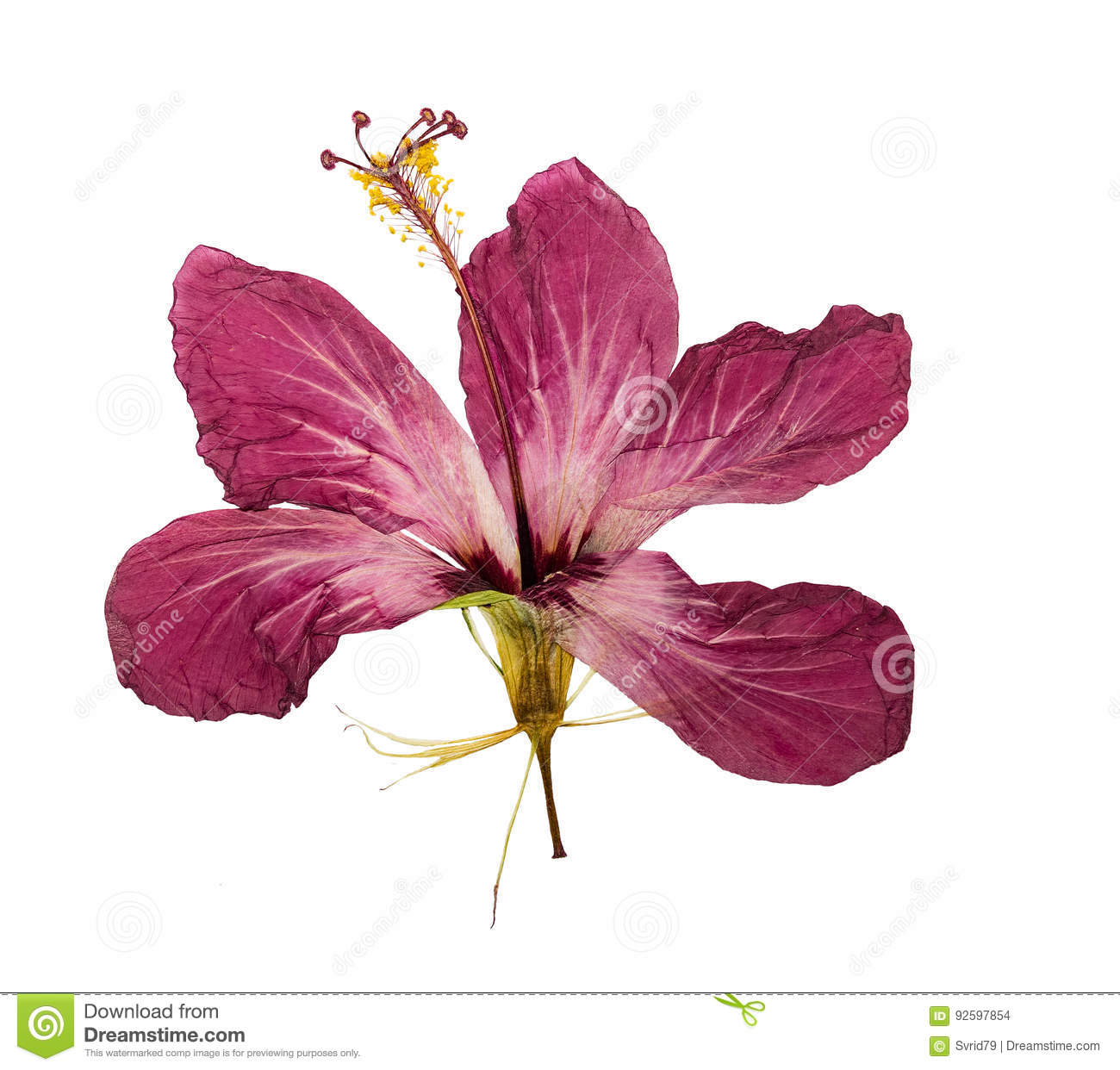 Pressed and dried flower hibiscus isolated stock photo image of download pressed and dried flower hibiscus isolated stock photo image of flower close izmirmasajfo