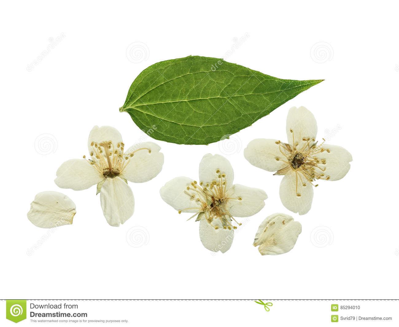 Pressed And Dried Flower Jasmine Isolated Stock Photo Image Of