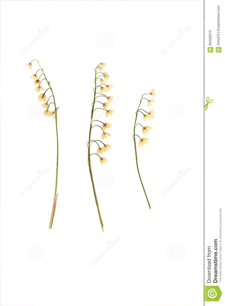 Pressed and dried flower lily of the valley stock image image of pressed and dried flower lily of the valley izmirmasajfo