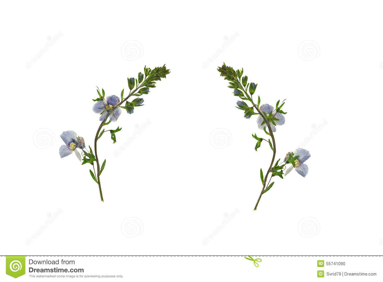 Pressed And Dried Flower Veronica Officinalis Isolated On White