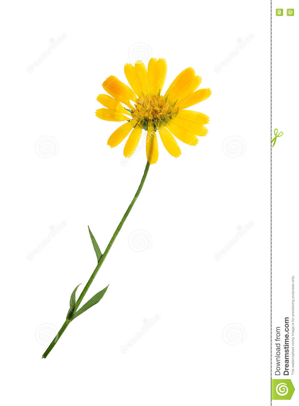 How to scrapbook dried flowers - Pressed And Dried Flowers Of Calendula Officinalis Isolated