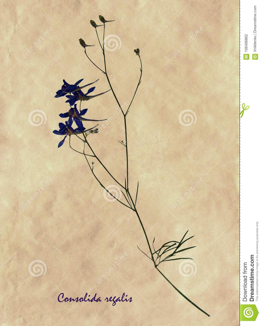 Pressed And Dried Flowers Of Forking Larkspur Stock Photo Image Of