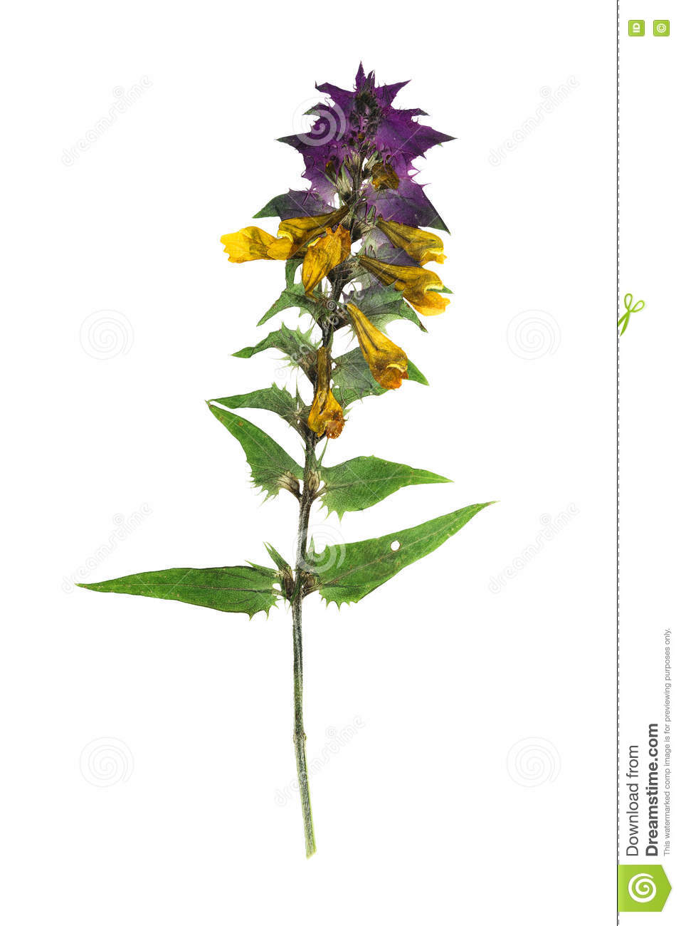 How to scrapbook dried flowers - Pressed And Dried Flowers Melampyrum Nemorosum Isolated