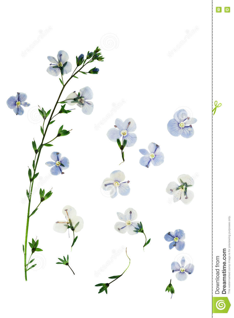 How to scrapbook pressed flowers - Pressed And Dried Flowers Veronica Officinalis