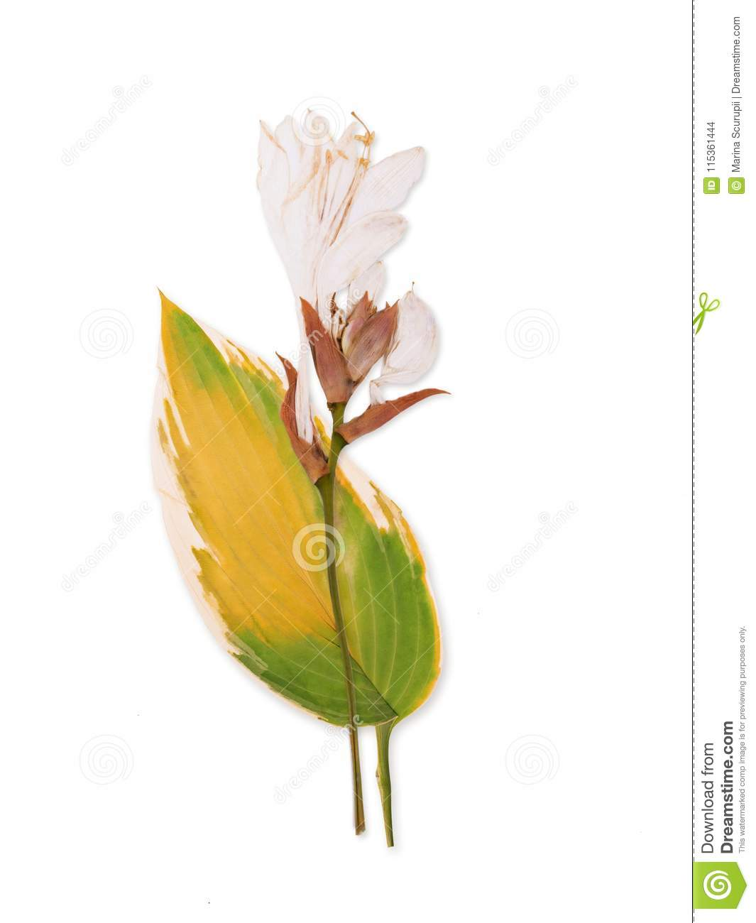 Pressed And Dried Lily Flower Stock Photo Image Of White Delicate