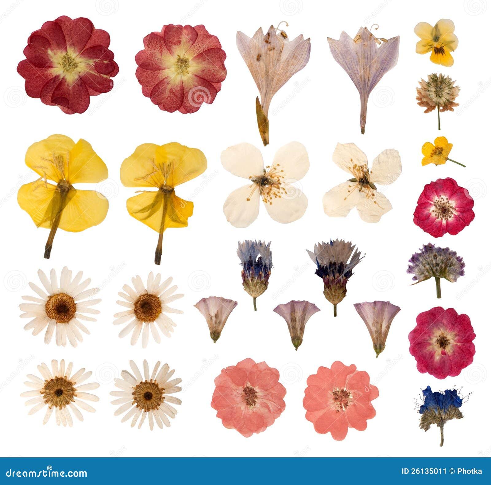 Pressed Flowers Stock Image Image