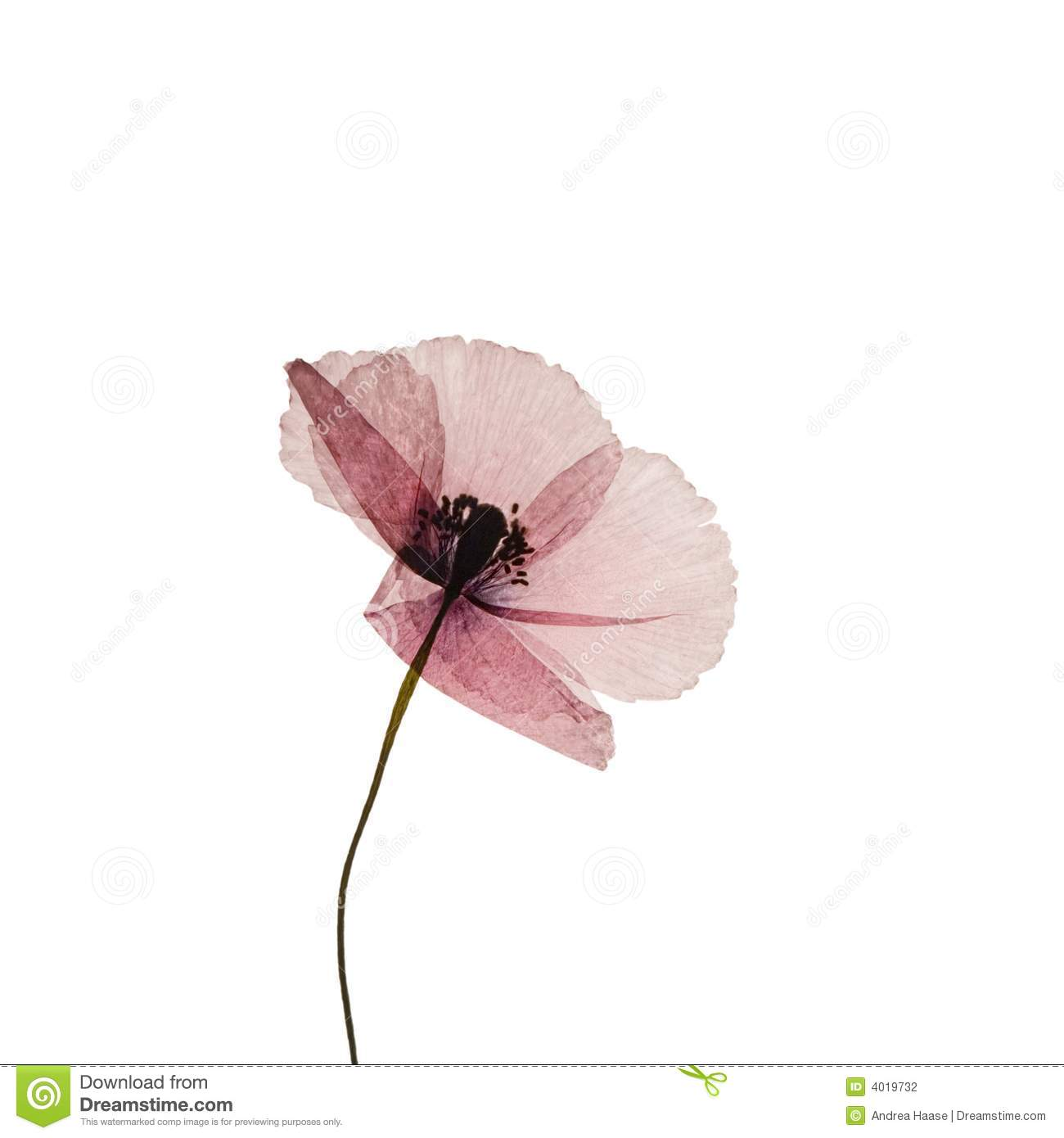 Pressed Poppy Flower Stock Photo Image Of Floral Retro 4019732