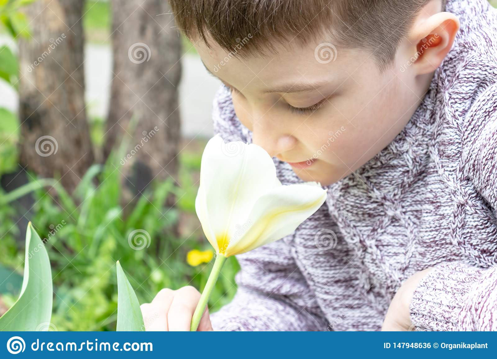 A preteen caucasian boy smelling white tulip flower in the spring garden