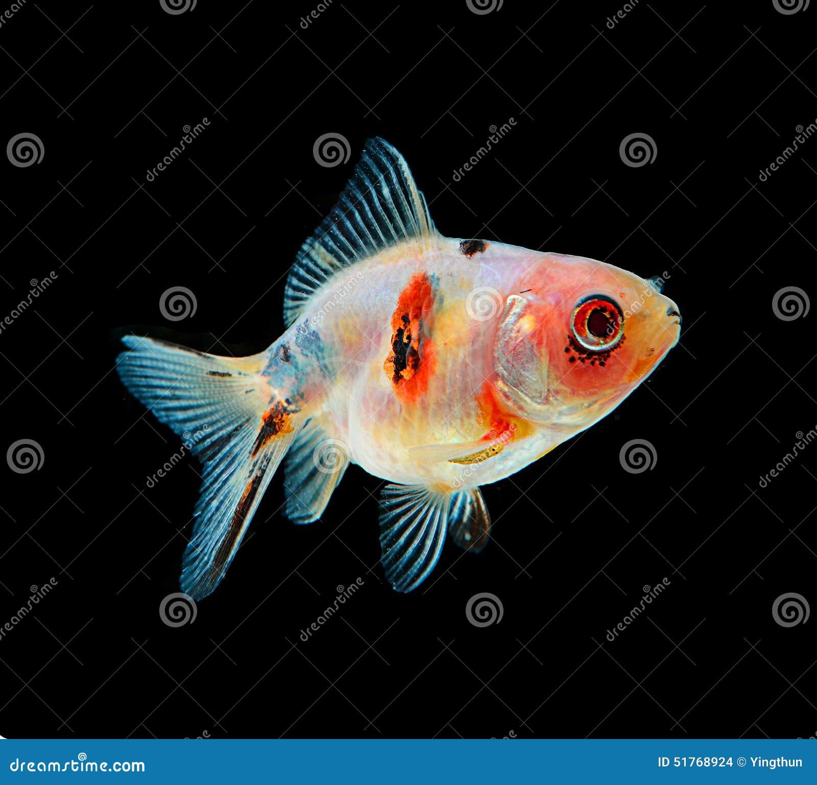 Preto dos peixes do ouro no fundo