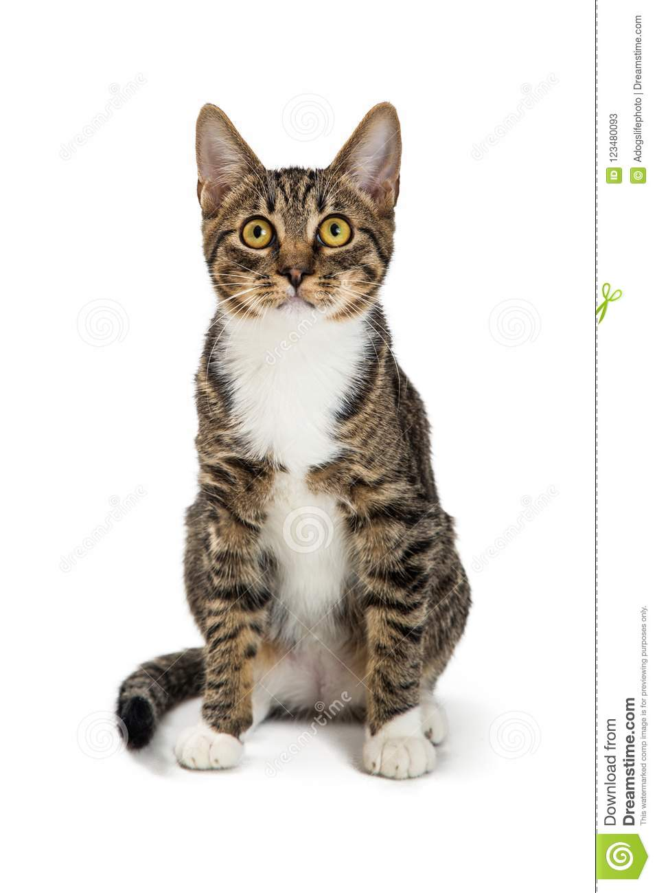Brown Tabby And White Cat Sitting Facing Forward Stock Image Image Of Forward Animal 123480093
