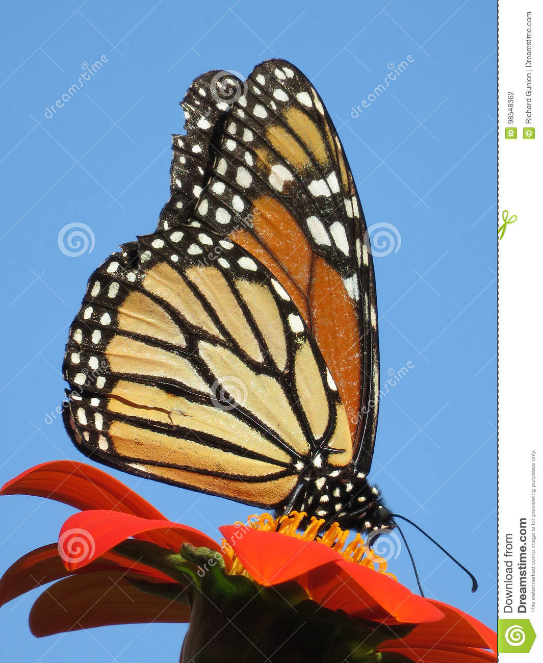 Pretty August Monarch Butterfly