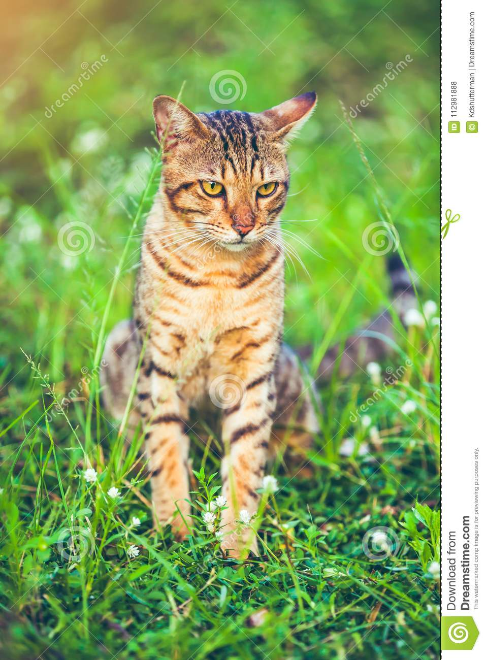 Pretty bengal cat sitting on green grass and looking aside at pa