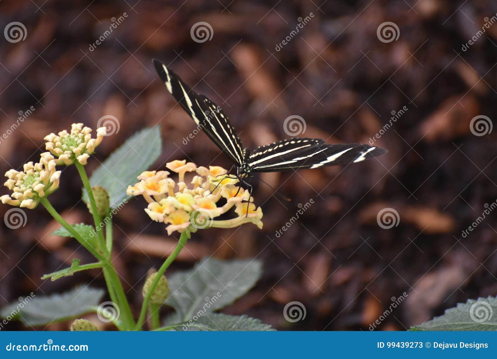 Pretty Black and White Zebra Butterfly on a Daisy
