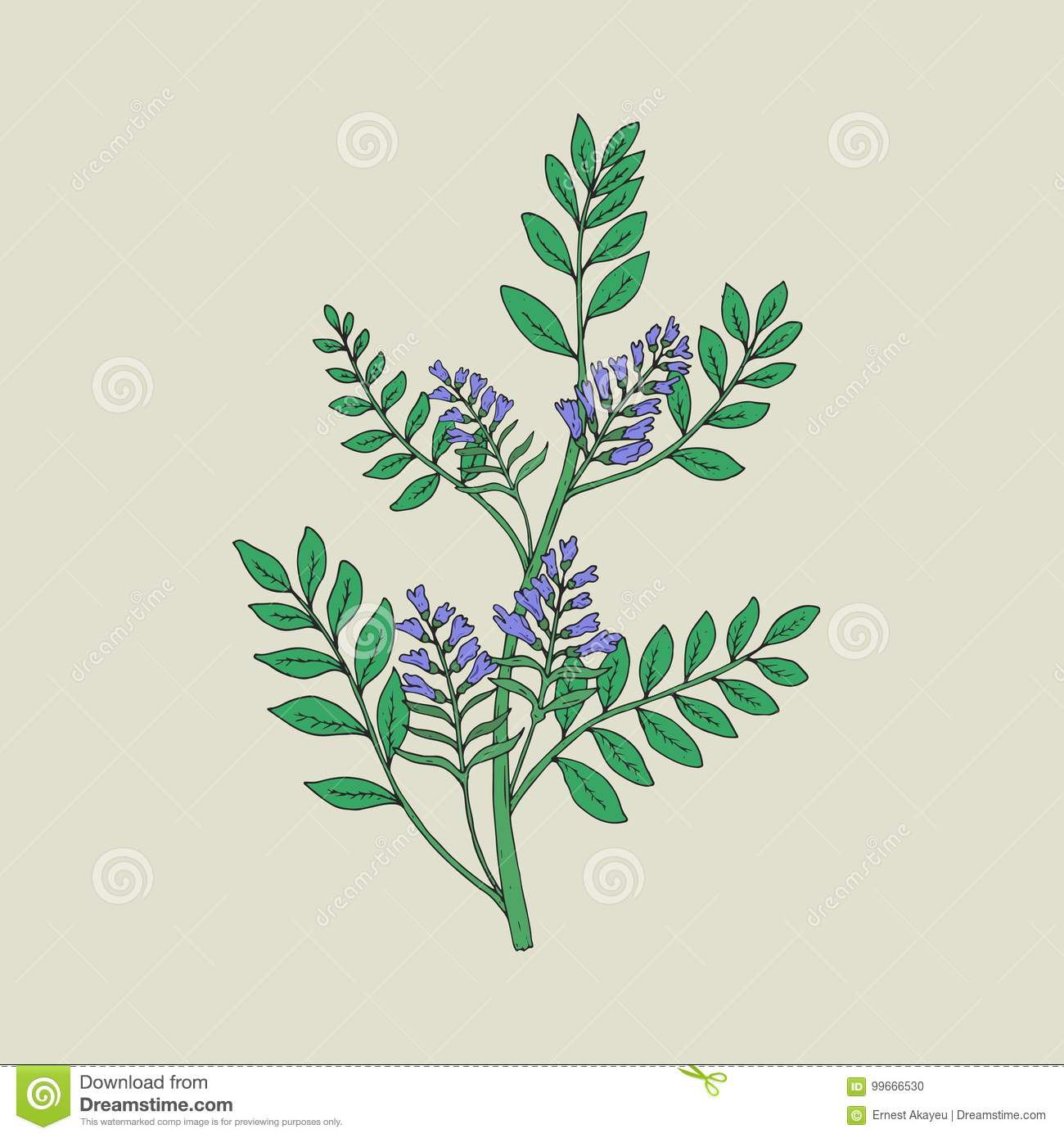 Pretty Botanical Drawing Of Blooming Licorice Plant With