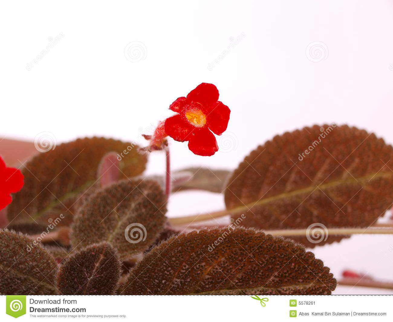 Pretty Bright Red Small Flower & Brown Hairy Leave