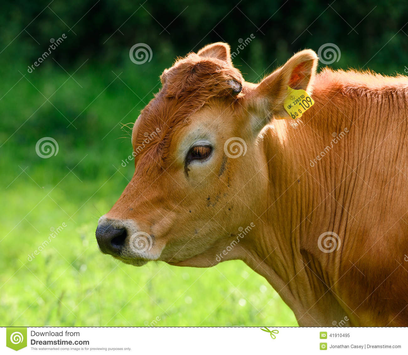 Pretty Brown Cow Stock Image Image Of Springtime Steers 41910495