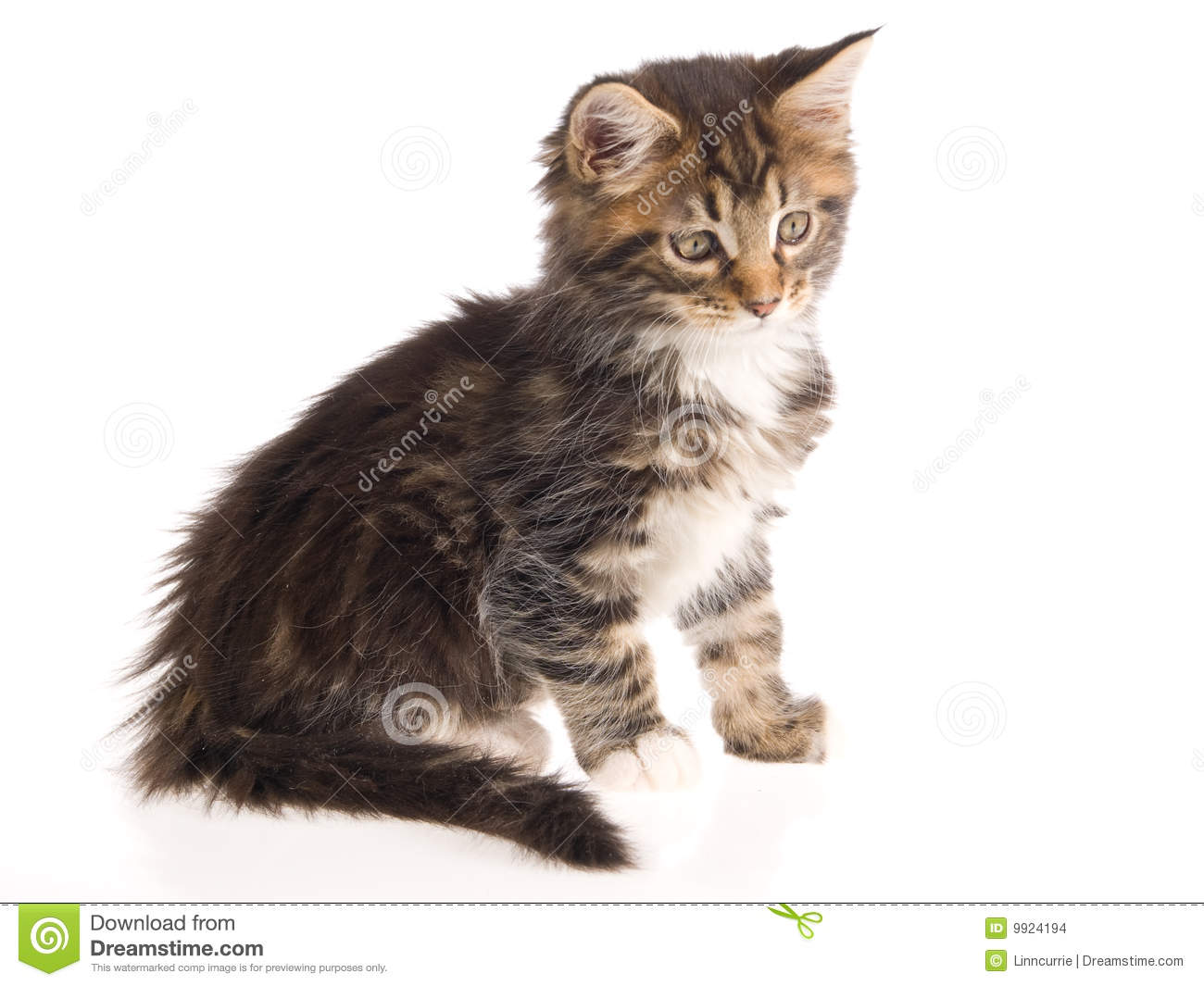 Pretty Brown Maine Coon Kitten On White Bg Stock Images ...