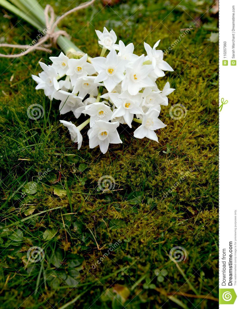 White Narcissus Flowers Tied With Twine Stock Photo Image Of