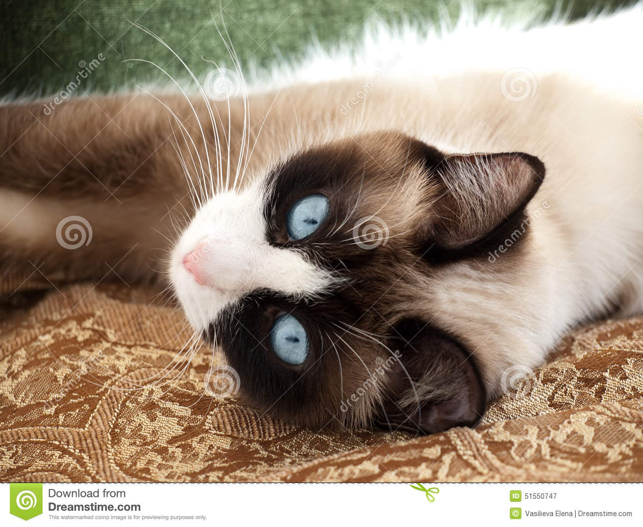 Pretty cat with blue eyes breed snowshoe