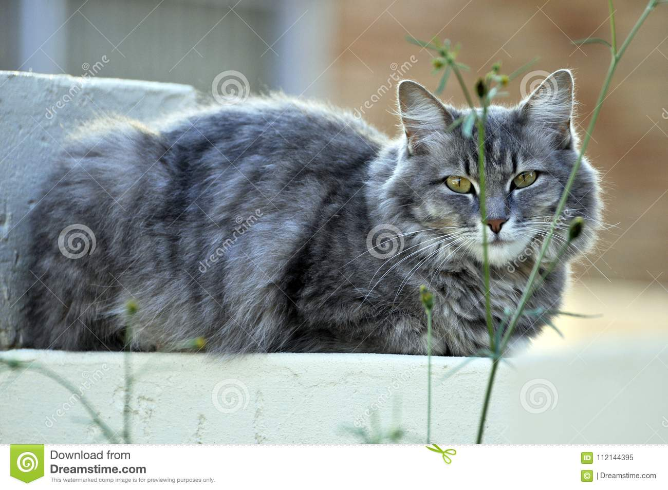 Pretty Grey Cat With Paws Folded Relaxing On A Garden Wall While Keeping A Watchful Eye From Behind The Branches Of A Small Shrub