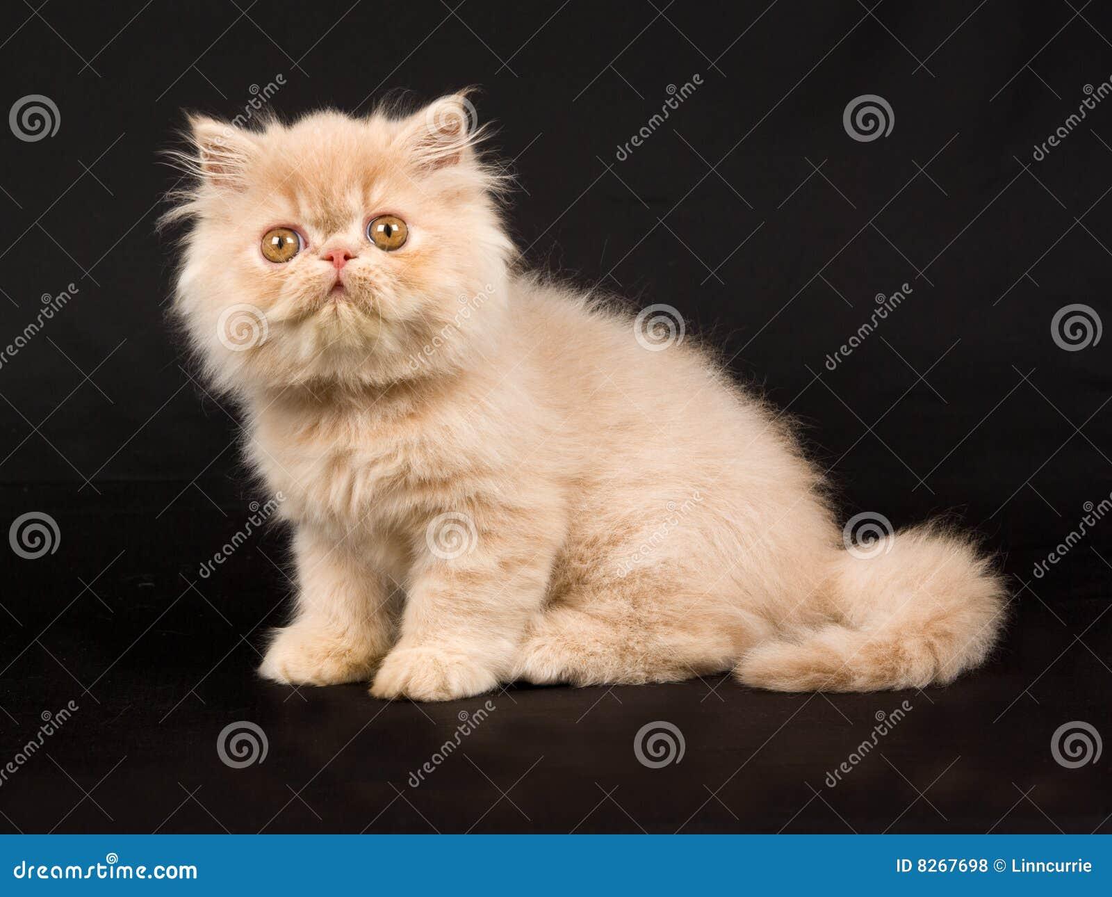 Pretty Cute Persian Kitten Black Background Stock Image