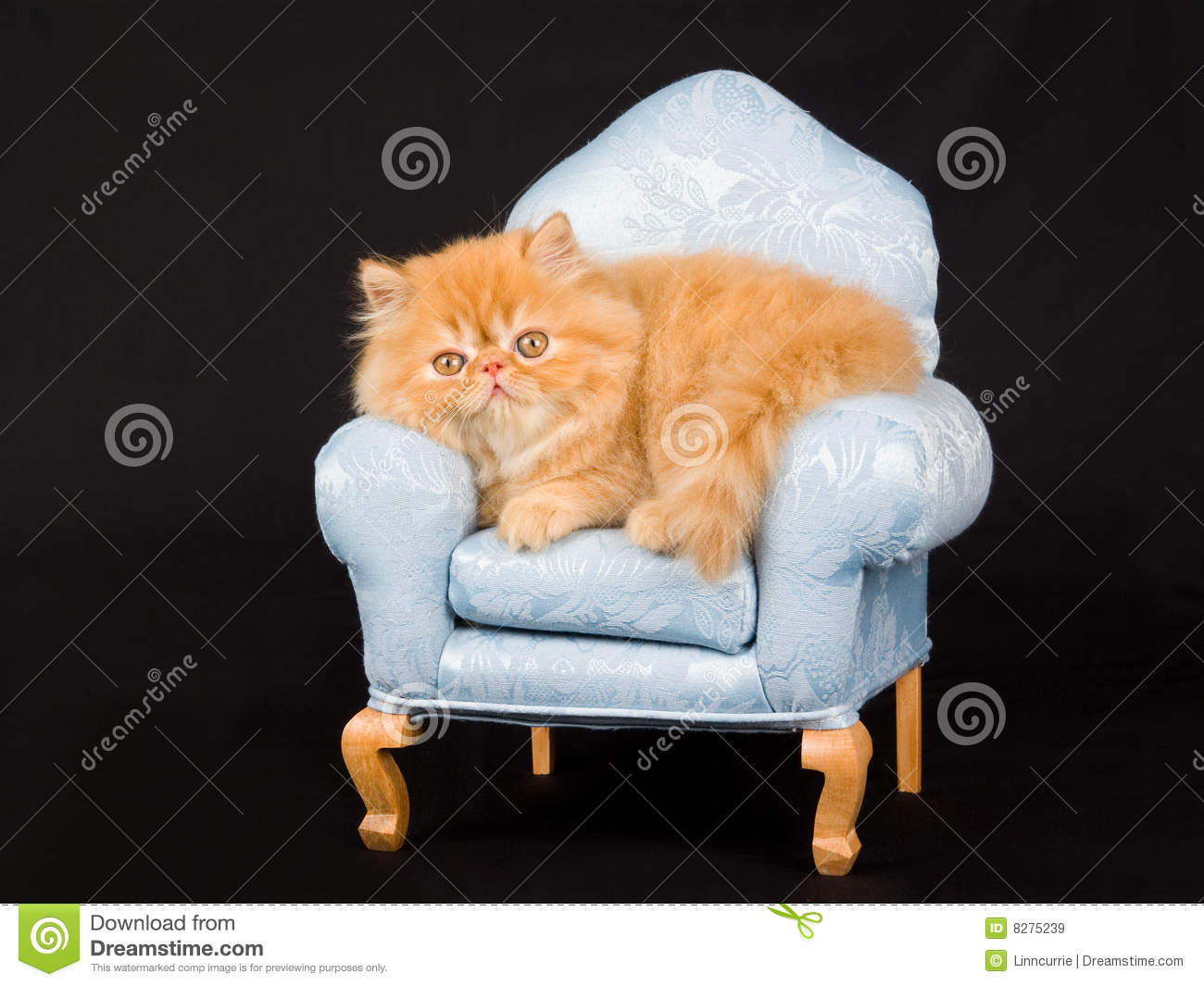 Pretty Cute Persian Kitten On Mini Chair Royalty Free Stock Images ...