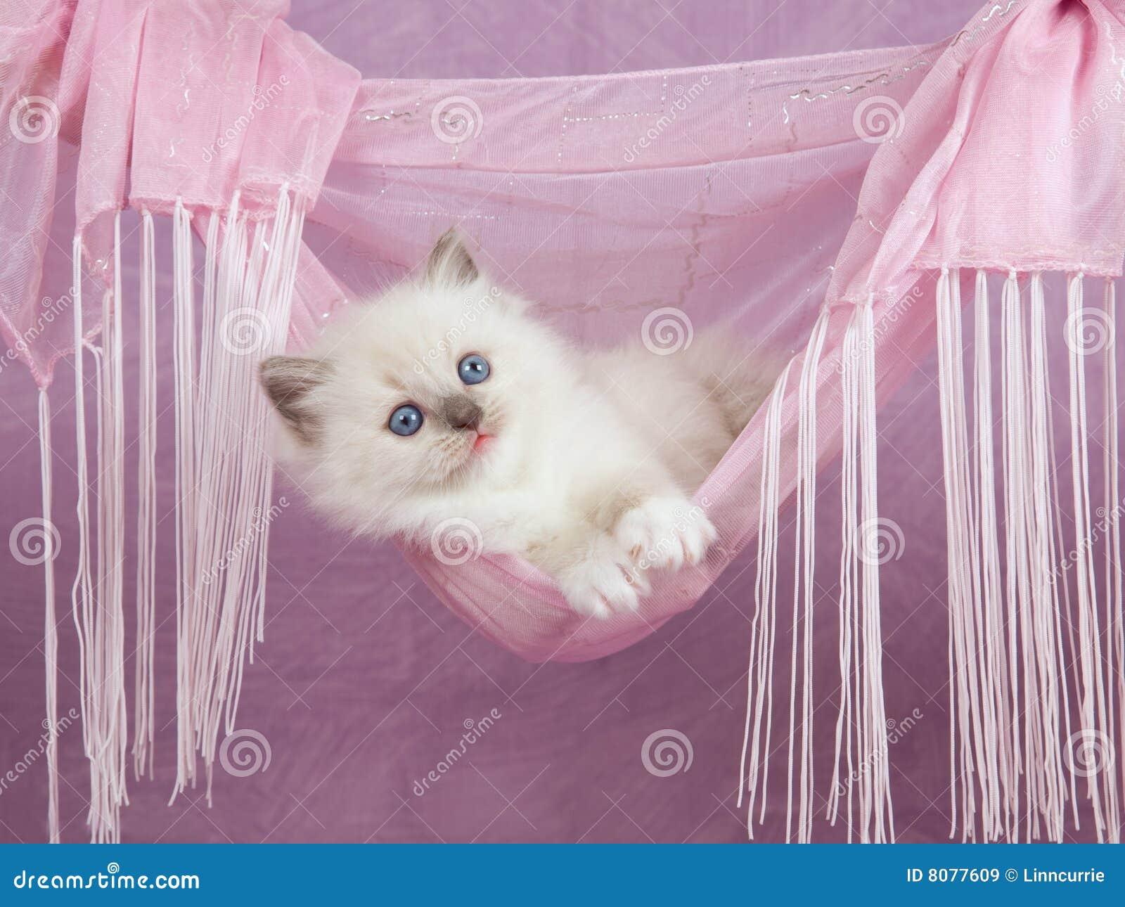 Pretty cute Ragdoll kitten in pink hammock
