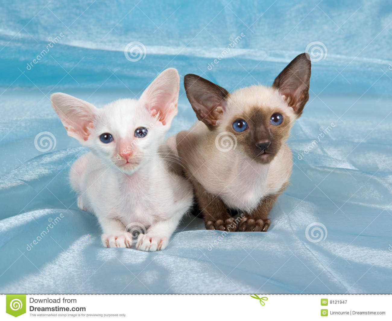 Pretty Cute Siamese Kittens Blue Fabric Royalty Free Stock