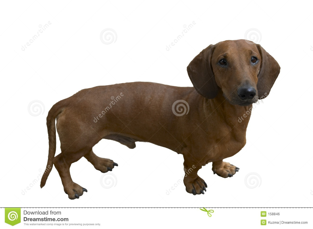 Pretty dachshund