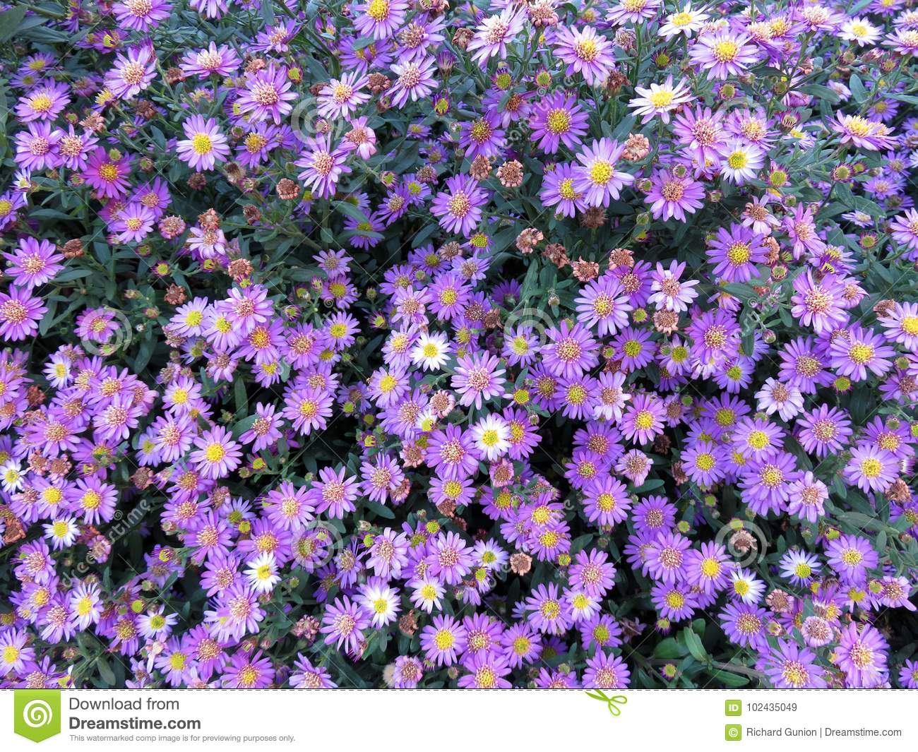 Pretty Daisies In October Stock Image Image Of Nature 102435049