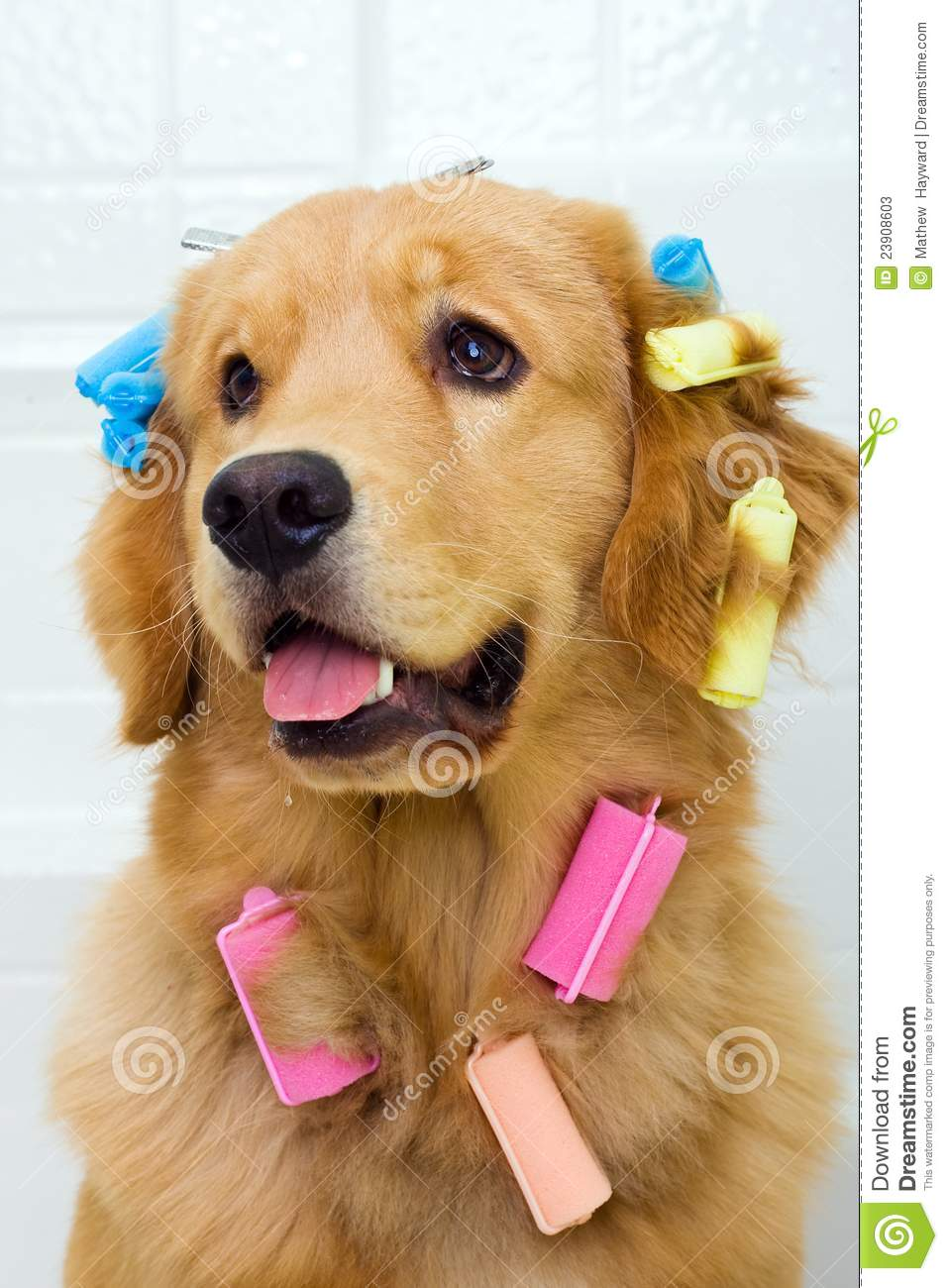 Pretty Dog In Hair Curlers Stock Photos Image 23908603