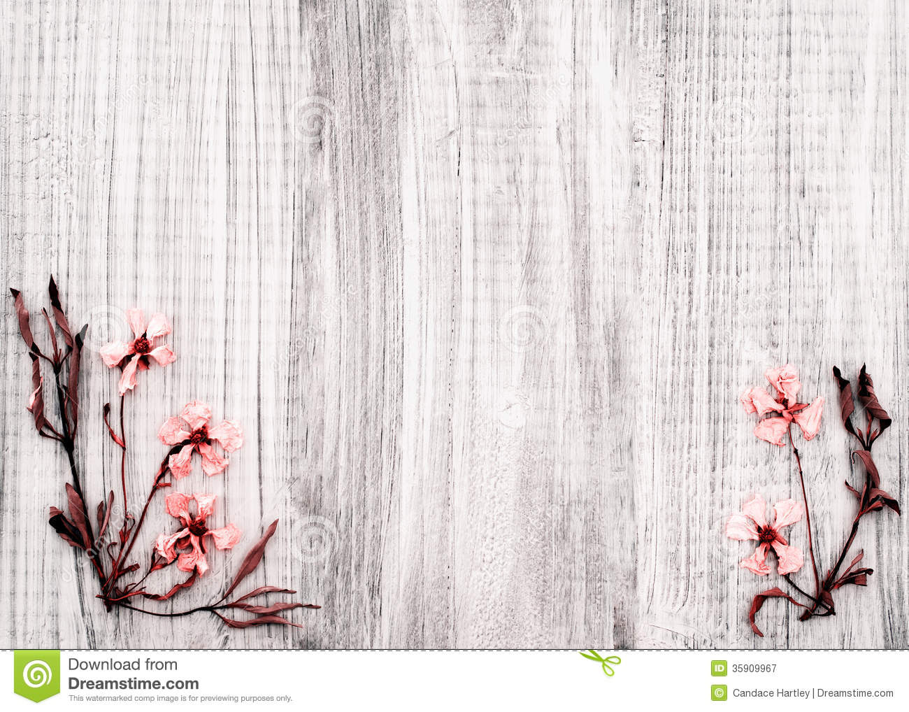 Pretty Dried Rock Rose Flowers On Rustic White Wood Background